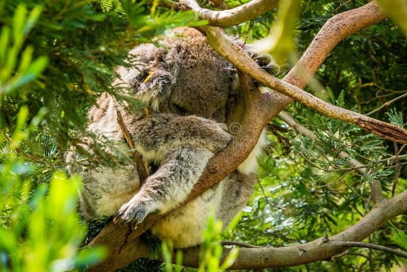 Närbild av en koala som har en ta sig en tupplur i ett träd arkivbilder
