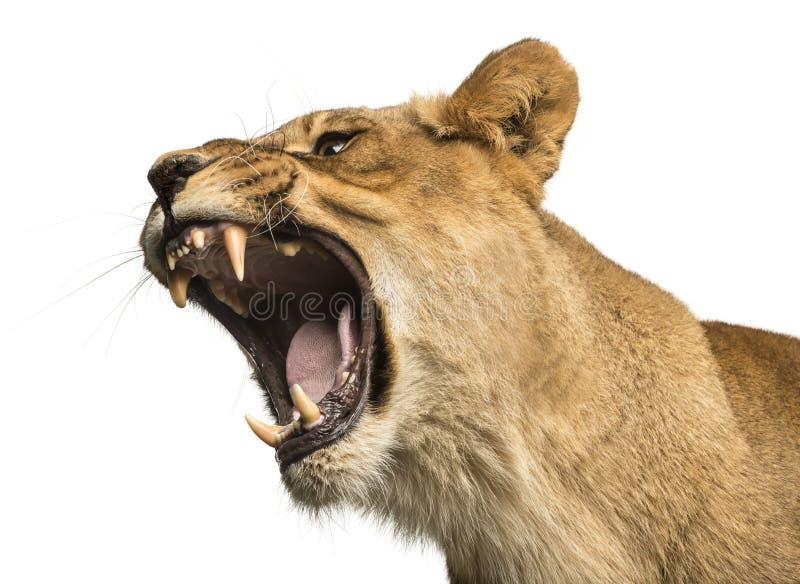 Närbild av en lejoninna som vrålar, Panthera leo, 10 gamla år royaltyfri foto
