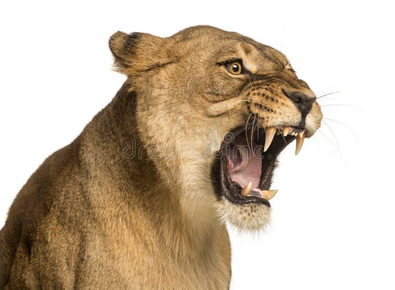 Närbild av en lejoninna som vrålar, Panthera leo, 10 gamla år royaltyfri fotografi