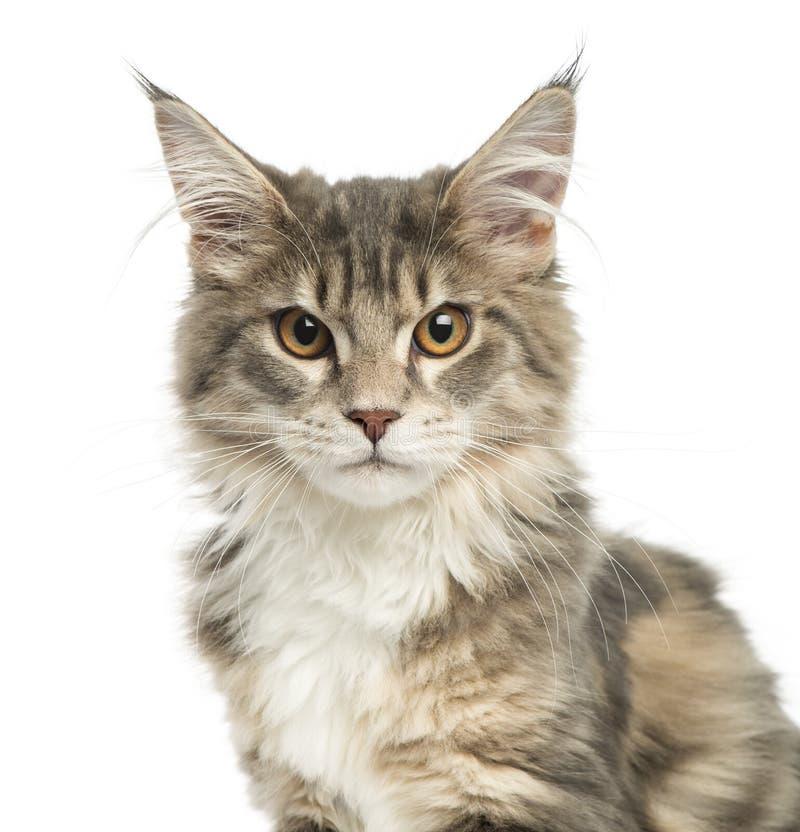 Närbild av en Maine Coon kattunge som ser kameran royaltyfri bild