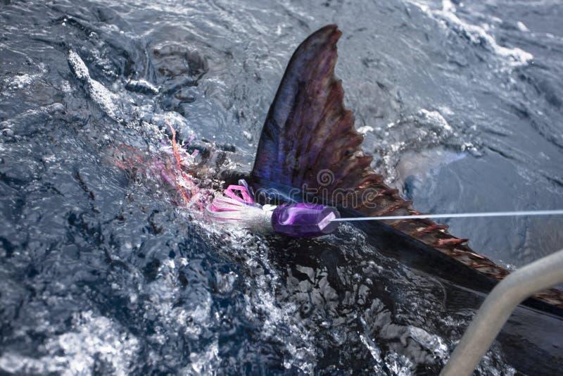 Närbild av en marlin eller en sailfish arkivbild