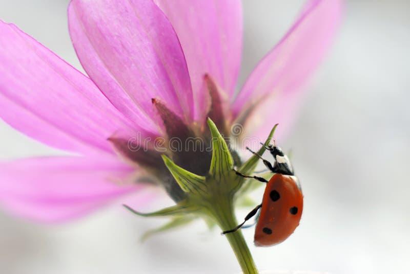 Närbild av en nyckelpiga på en rosa blomma arkivbild