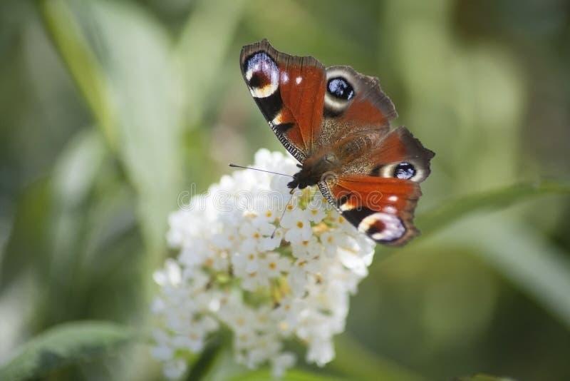 Närbild av en peackockfjäril på en vit knopp arkivfoton