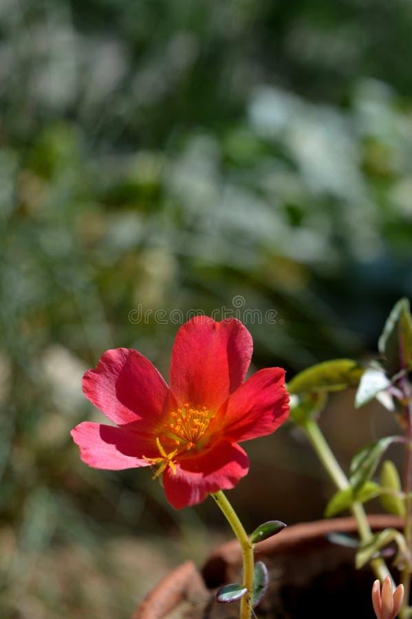 Närbild av en Portulaca Oleracea blomma, gemensam Purslane, Porcellana, natur arkivbilder