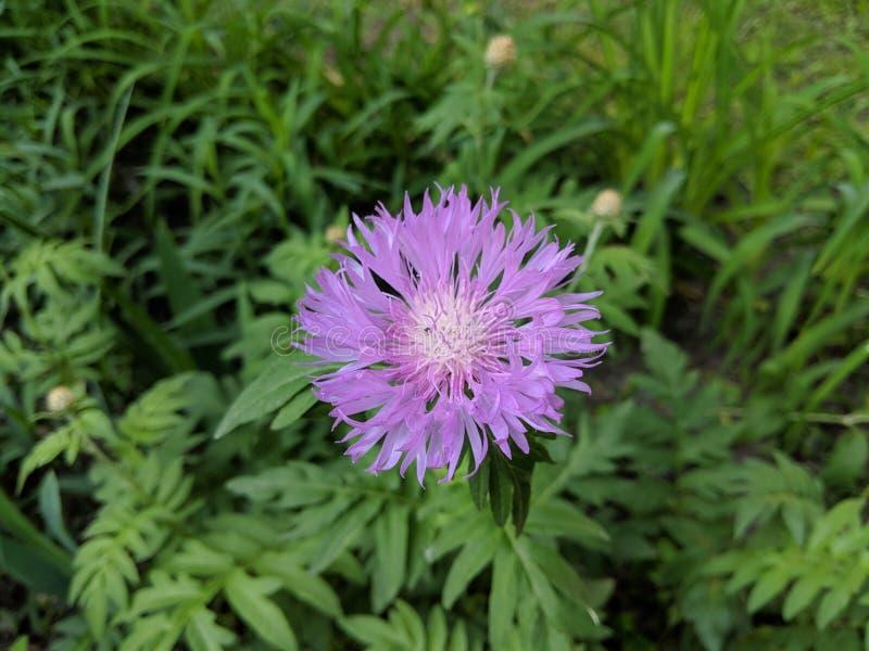 Närbild av en purpurfärgad amerikansk korgblomma på bakgrunden för grönt gräs i naturliga färger arkivfoto