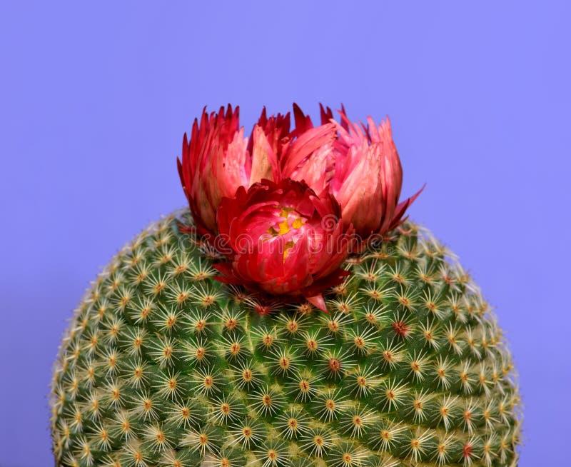 Närbild av en rund kaktus med den röda blomman som isoleras i purpurfärgad bakgrund fotografering för bildbyråer