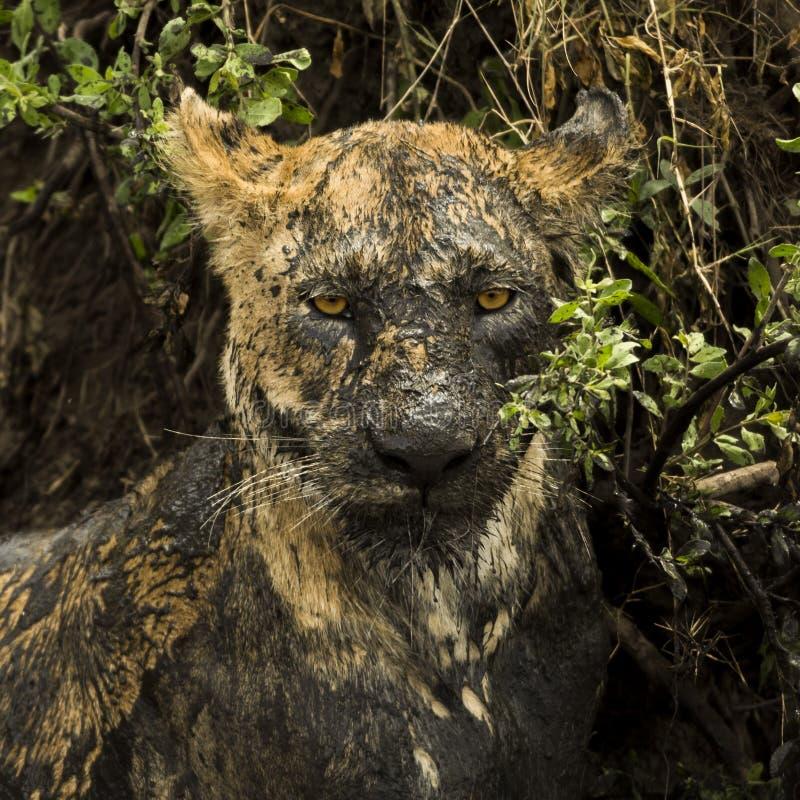 Närbild av en smutsig lejoninna, Serengeti, Tanzania royaltyfria foton