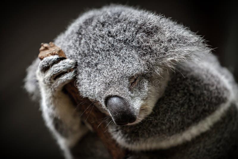 Närbild av en sova päls- koala arkivfoton