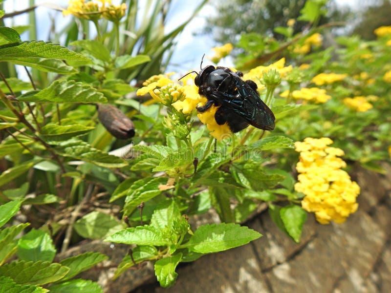 Närbild av en svart honungsbi som samlar pollen och nektar från en gul blomma som gör pollination arkivbild