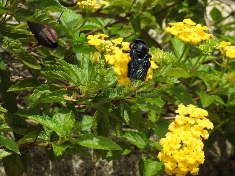 Närbild av en svart honungsbi som samlar pollen och nektar från en gul blomma som gör pollination fotografering för bildbyråer