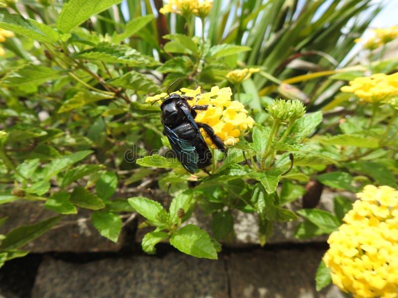 Närbild av en svart honungsbi som samlar pollen och nektar från en gul blomma som gör pollination royaltyfri foto
