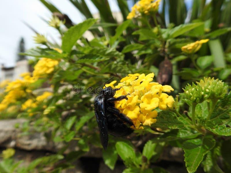 Närbild av en svart honungsbi som samlar pollen och nektar från en gul blomma som gör pollination royaltyfria foton
