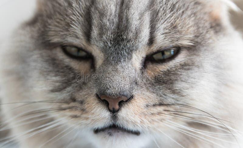 Närbild av en ung randig katt- framsida grå sömnig katt får för vaktpost för hundguardhusdjur royaltyfria foton