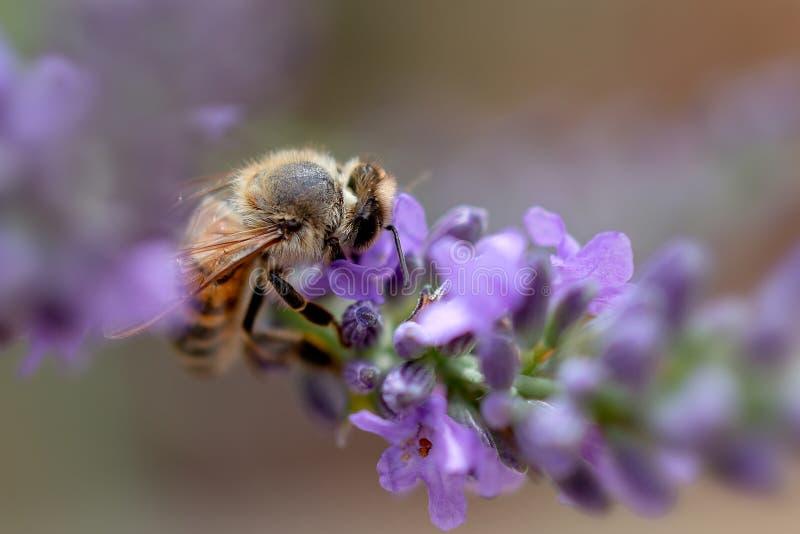 Närbild av ett bi som söker efter föda lavendelblommor arkivbilder