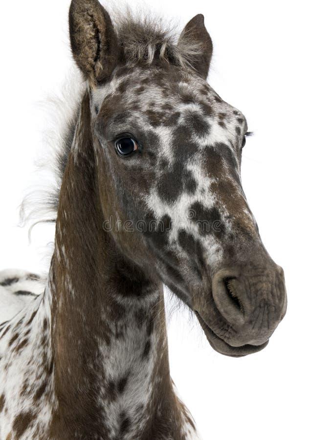 Närbild av ett korsningföl mellan en Appaloosa och en Friesian häst, 3 gamla månader royaltyfri bild