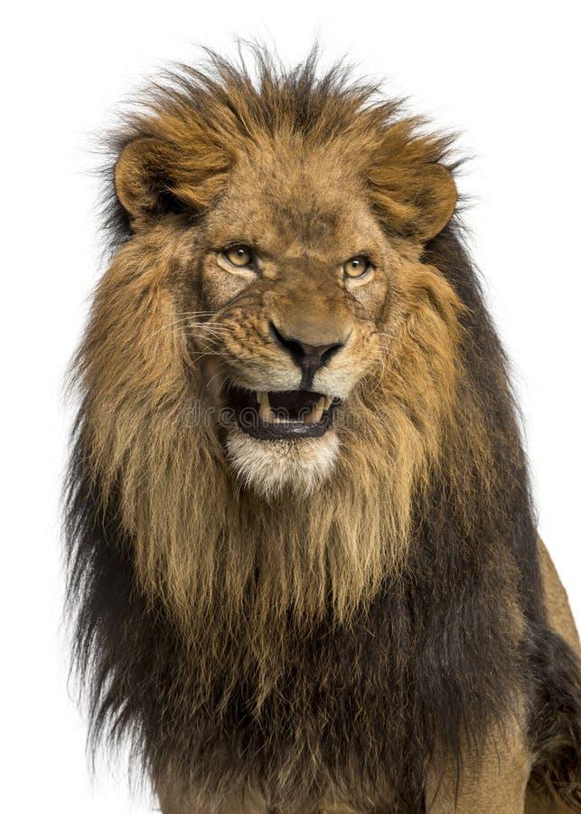 Närbild av ett lejon som vrålar, PantheraLejonet, 10 gamla år royaltyfri foto