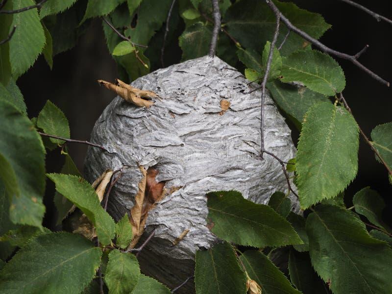 Närbild av ett stort rede av getingar som hänger från en trädfilial royaltyfri bild