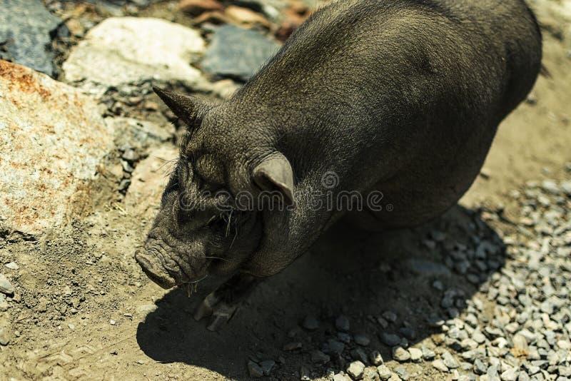 Närbild av ett vietnamesiskt svin med jord i bakgrunden arkivfoton