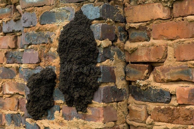 Närbild av ettväxande termitrede på en tegelstenvägg royaltyfria bilder