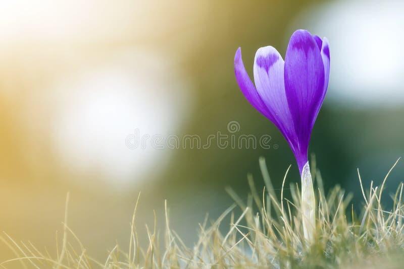 Närbild av förträfflig förbluffa ljus violett krokus för första vårblomma som utomhus blommar i torrt gräs på suddig färgrik gräs royaltyfria foton