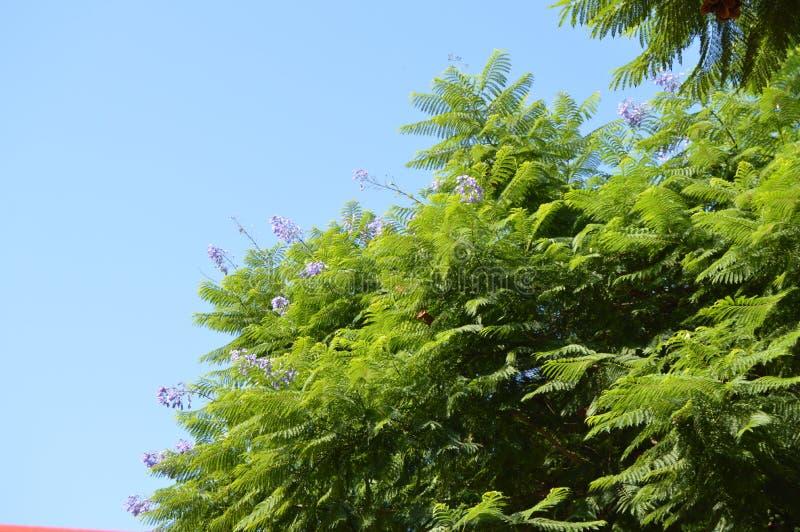 Närbild av filialer för jakarandaormbunketräd med purpurfärgade blommor på bakgrund för blå himmel, jakaranda Mimosifolia royaltyfria foton