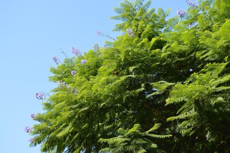 Närbild av filialer för jakarandaormbunketräd med purpurfärgade blommor på bakgrund för blå himmel, jakaranda Mimosifolia arkivfoto