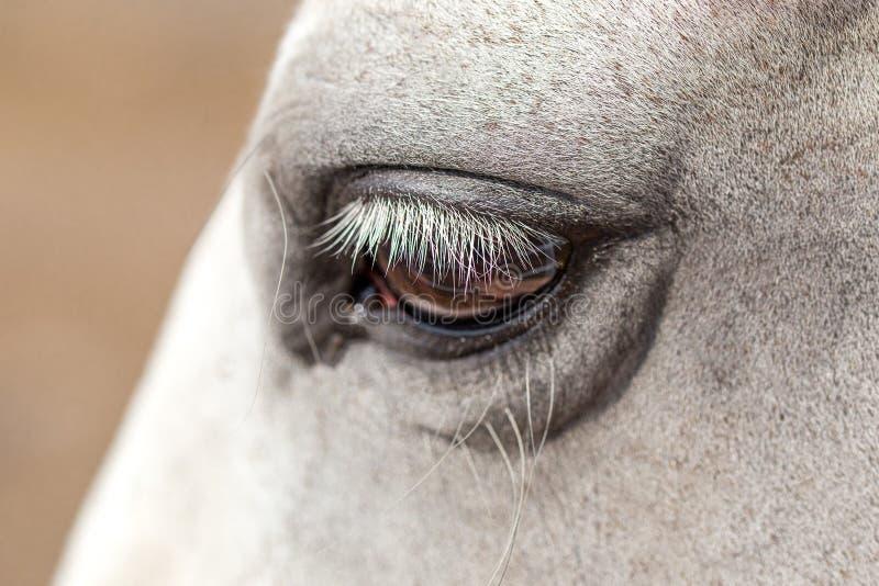 Närbild av framsidan för vit häst med den svarta tygeln och långa ögonfrans arkivfoton
