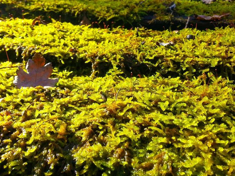 Närbild av grön mossa med bruna stupade sidor från träd royaltyfri fotografi
