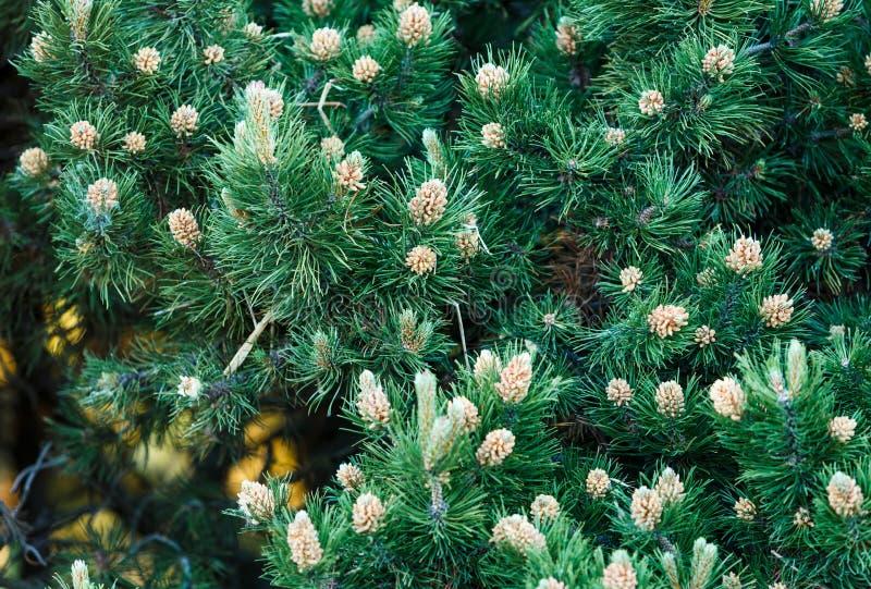 Närbild av gröna granträdfilialer och träd Naturvinterbakgrund royaltyfri fotografi