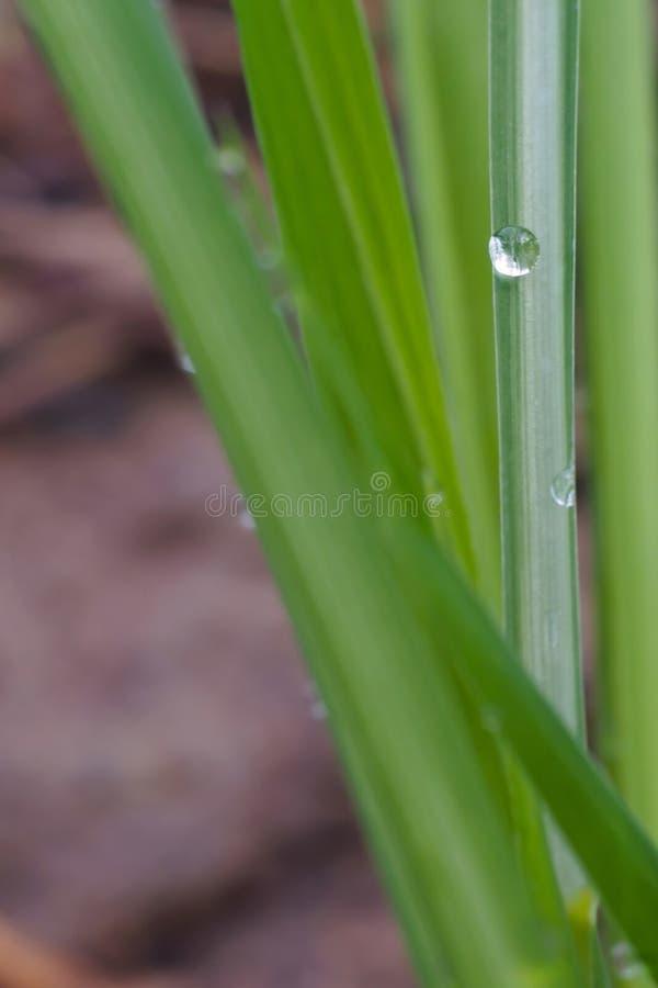 Närbild av grönt gräs med daggdroppar För naturbakgrunden royaltyfri bild