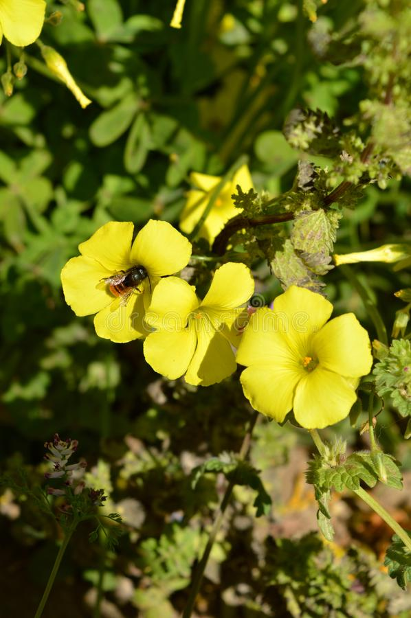 Närbild av gula gemensamma Wood Sorrel Flowers med ett bi som samlar pollen, Oxalis Acetosella royaltyfri fotografi