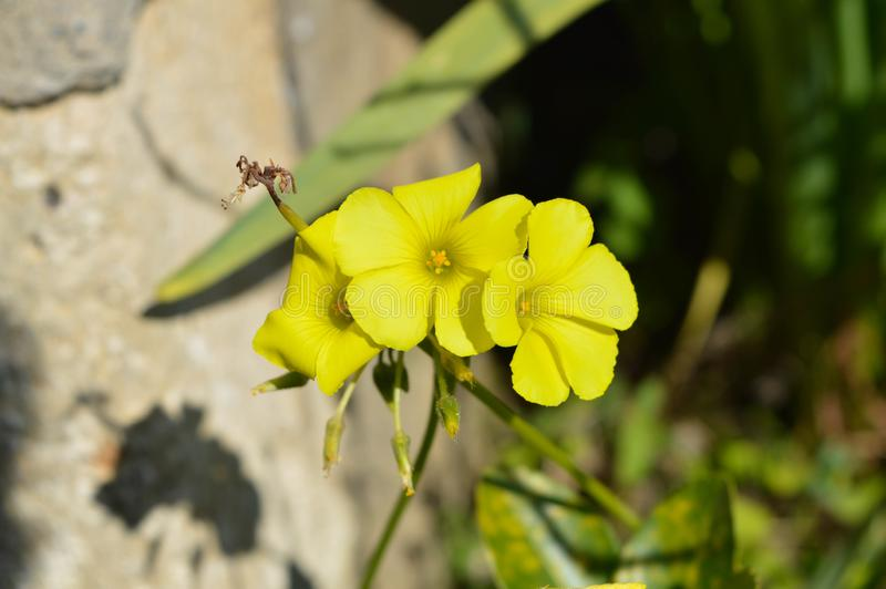 Närbild av gula gemensamma Wood Sorrel Flowers, Oxalis Acetosella arkivfoto