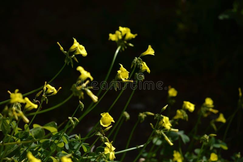 Närbild av gula gemensamma Wood Sorrel Flowers, Oxalis Acetosella royaltyfri fotografi