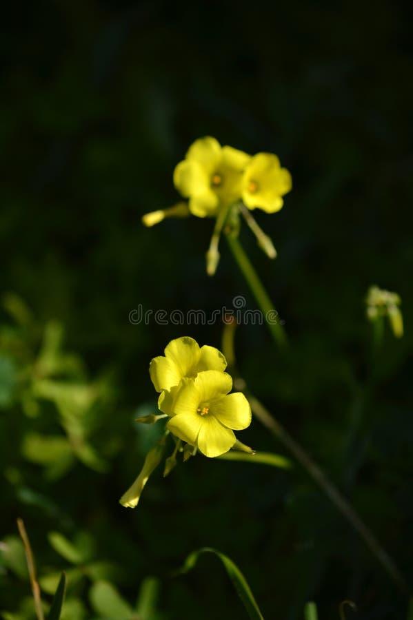 Närbild av gula gemensamma Wood Sorrel Flowers, Oxalis Acetosella royaltyfri foto