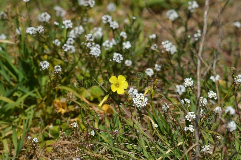 Närbild av gula gemensamma Wood Sorrel Flowers, Oxalis Acetosella arkivfoton