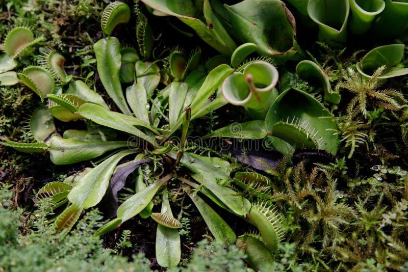 Närbild av heliamphoraen för köttätande växt bland andra köttätande växter fotografering för bildbyråer