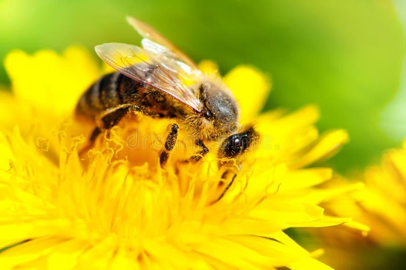 Närbild av honungbiet som arbetar i en gul sommarblomma, makro arkivbild