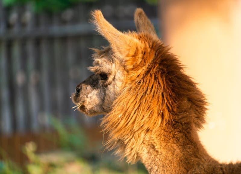 Närbild av huvudet av bruna pacos för en Suri AlpacaVicugna med ull royaltyfri foto