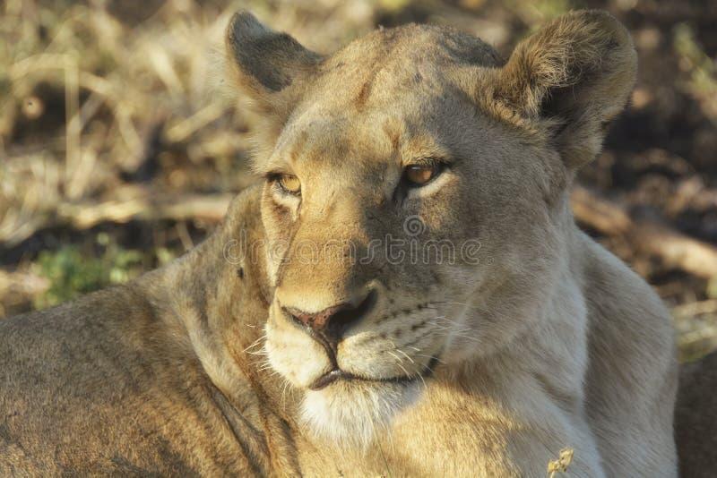 Närbild av lejoninnan med solljus i henne ögon royaltyfri bild