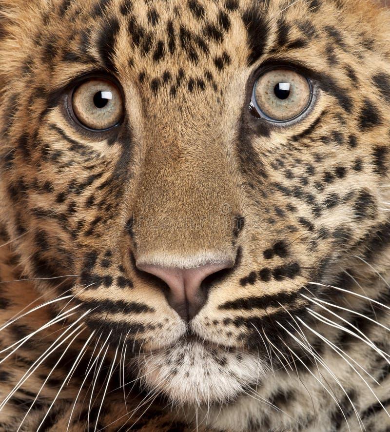 Närbild av leoparden, Pantherapardus arkivfoton