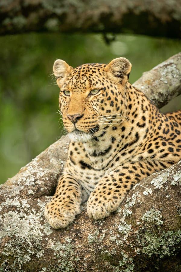 Närbild av leoparden som ligger i lav-täckt träd royaltyfri bild