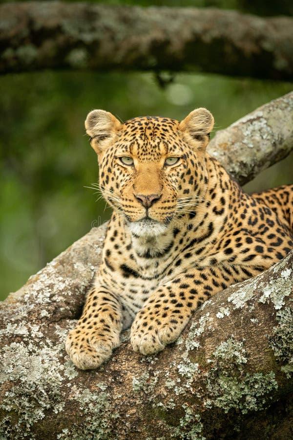 Närbild av leoparden som ligger i lav-täckte filialer royaltyfri bild