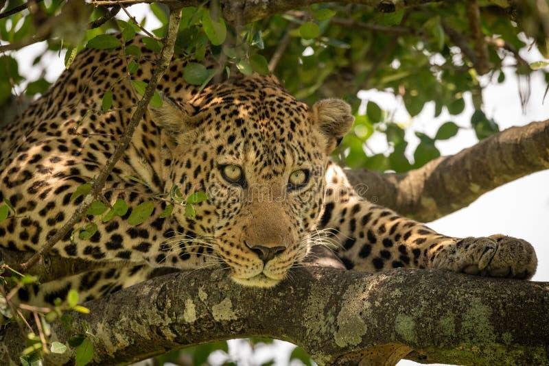 Närbild av leoparden som ligger på lav-täckte filialer arkivbild