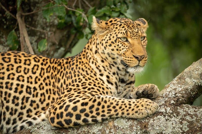 Närbild av leoparden som vilar på lav-täckt filial royaltyfri fotografi