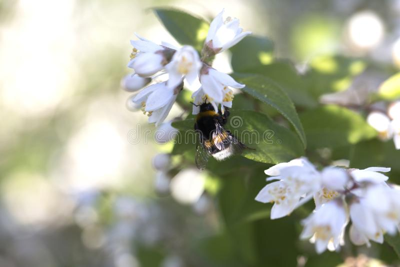 Närbild av lite humlan på en härlig vit blomma Beskåda fotografering för bildbyråer