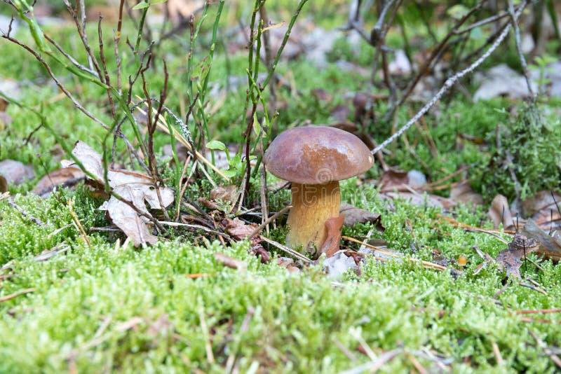 Närbild av liten sopp med det bruna locket som växer på skoggolv från grön mossa, ätlig champinjon, höst royaltyfri bild