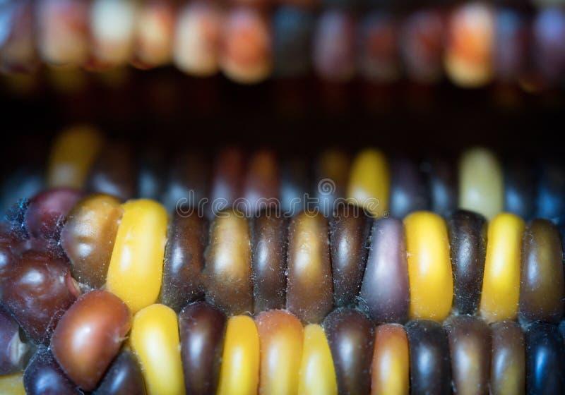 Närbild av majs på majskolven royaltyfri fotografi