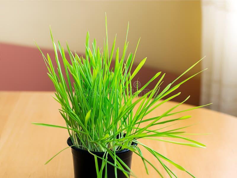 Närbild av nytt grönt gräs eller spirad havre för inomhus katter i en svart plast- kruka på trätabellen nära fönstret naturligt arkivbild