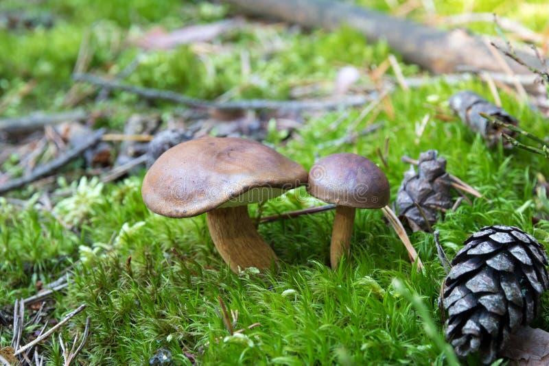 Närbild av par av små boletuses som växer på skoggolv från grön mossa, ätliga champinjoner, höst fotografering för bildbyråer