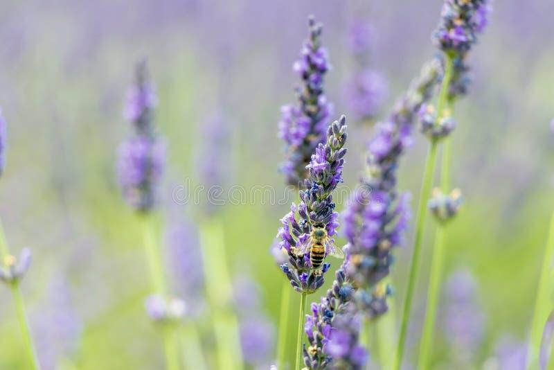 Närbild av purpurfärgade lavendelblommor med biet, hållbara åkerbruka fält i Provence, Frankrike fotografering för bildbyråer